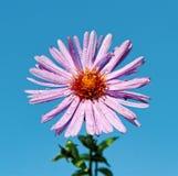 пурпур маргаритки Стоковое Изображение RF