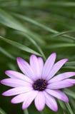 пурпур маргаритки Стоковые Фото