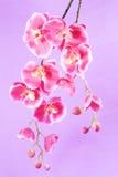 пурпур орхидеи предпосылки Стоковое фото RF