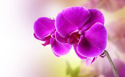 пурпур орхидеи Стоковые Изображения RF
