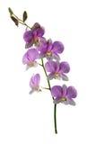 Пурпур орхидеи Dendrobium Стоковое Изображение RF