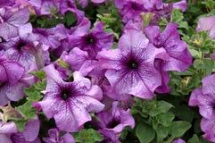 пурпур петуньи Стоковые Изображения
