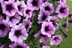 пурпур петуньи Стоковая Фотография