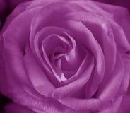 пурпур поднял Стоковое Изображение