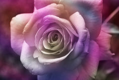пурпур поднял Стоковые Изображения RF