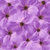пурпур предпосылки флористический Белая большая вишня цветков флористический коллаж тюльпаны цветка повилики состава предпосылки  Стоковые Изображения RF