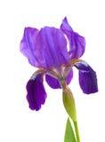 пурпур радужки цветка Стоковая Фотография