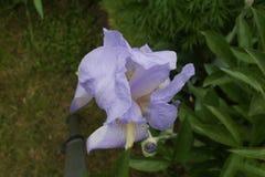 Пурпур радужки Стоковые Изображения
