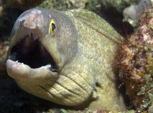 пурпур рта moray eel Стоковая Фотография