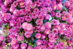 пурпур сада цветков стоковая фотография