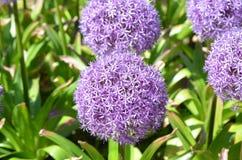 пурпур сада цветков Стоковые Изображения RF