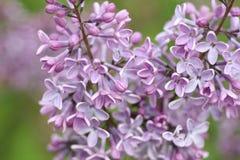 пурпур сирени Стоковое фото RF