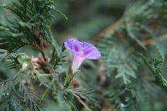 пурпур славы Стоковая Фотография