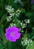 Пурпур сольный стоковая фотография rf
