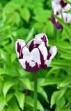 Пурпур с белым тюльпаном в саде Стоковые Фотографии RF