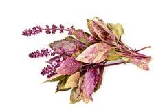 Пурпур травы базилика Стоковые Фото