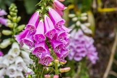 пурпур узкой части сада цветка поля глубины Стоковые Фото