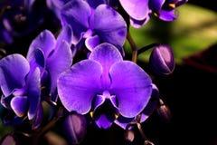 Пурпур фаленопсиса гибридный сизоватый стоковые изображения rf