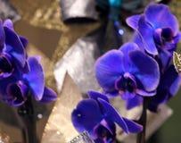 Пурпур фаленопсиса гибридный сизоватый стоковая фотография