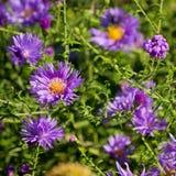 пурпур хризантемы Стоковые Фотографии RF