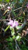 пурпур цветеня Стоковая Фотография RF
