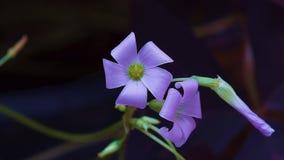 пурпур цветеня Стоковые Фотографии RF