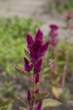 Пурпур цветет амарант Стоковые Изображения RF