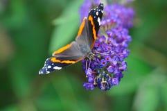 пурпур цветка бабочки Стоковое Изображение RF