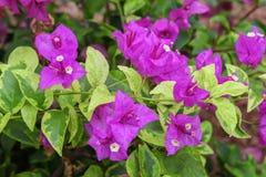 Пурпур цветка бугинвилии Стоковое Изображение RF