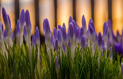 пурпур цветка весны зацветать в саде крокусы Стоковое Изображение RF