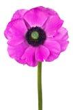 пурпур цветка ветреницы красивейший Стоковые Фотографии RF