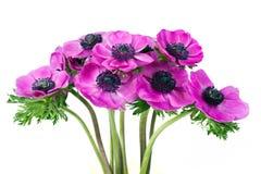 пурпур цветка ветреницы красивейший Стоковая Фотография