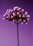 пурпур цветка детали Стоковое Изображение
