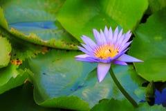 Пурпур цветка лотоса или вода lilly и пчела всосали нектар в цветне закройте вверх по красивому в природе Стоковые Изображения RF
