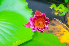 Пурпур цветка лотоса или вода lilly и пчела всосанная в цветне красивом в природе Стоковые Фотографии RF
