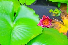 Пурпур цветка лотоса или вода lilly и пчела всосанная в цветне красивом в природе Стоковые Изображения RF