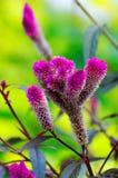 пурпур цветка меховой стоковая фотография