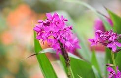 Пурпур цветка орхидеи Стоковая Фотография RF