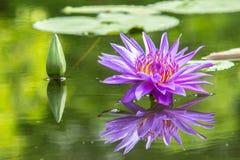 Пурпур цветка лотоса a красивый waterlily в пруде Стоковые Изображения RF