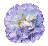 Пурпур цветка пиона на белизне изолировал предпосылку с путем клиппирования Природа Крупный план отсутствие теней Стоковые Фотографии RF