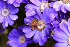 пурпур цветка пчелы Стоковая Фотография