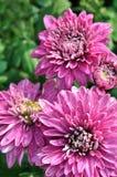 пурпур цветка хризантемы Стоковые Фотографии RF