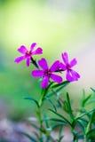 пурпур цветка Стоковая Фотография