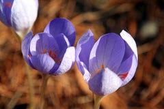 пурпур цветка Стоковая Фотография RF