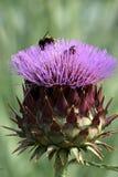 пурпур цветка cardoon Стоковое Изображение RF