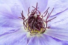 пурпур цветка clematis Стоковое Изображение RF