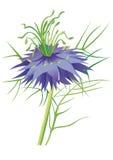 Пурпур цветка Nigella Стоковое Изображение