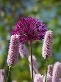 пурпур цветков розовый Стоковое Фото