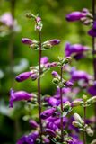 Пурпур щук пиковый (mexicali Penstemon) Стоковая Фотография