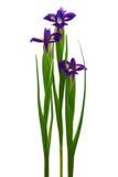 пурпур 3 радужки Стоковые Изображения RF